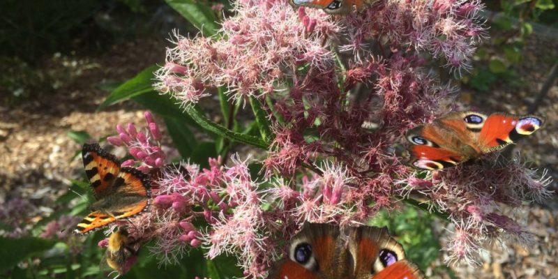 Neitoperhosia kukassa
