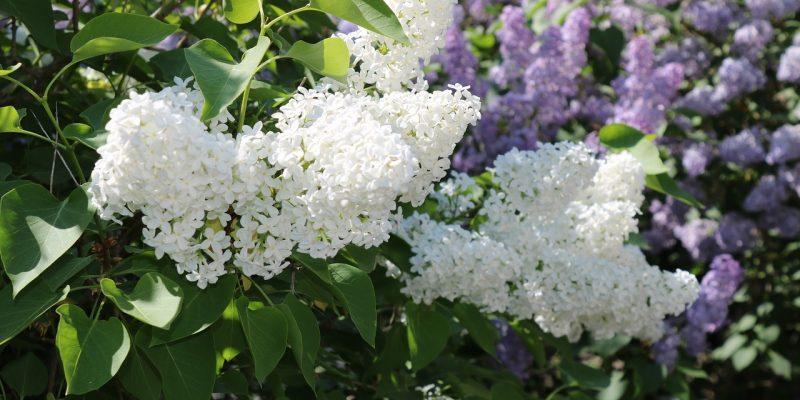 Valkoinen ja violetti syreeni
